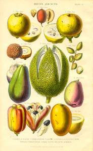 Engraving of tropical fruits